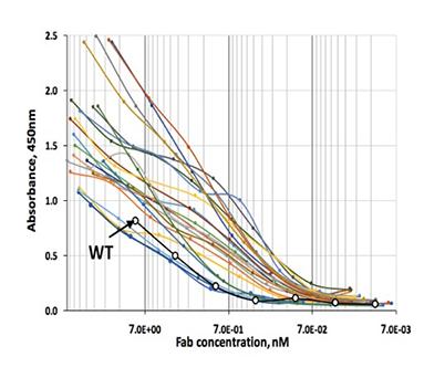 Rabbit Monocolonal Antibody Affinity Maturation