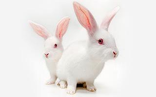 Phage Display Antibody Library Rabbit