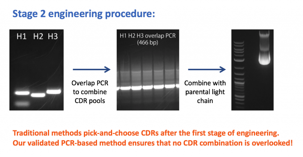 Our robust affinity maturation method combines pre-selected CDRs by PCR