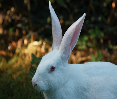 Rabbit Monocolonal Antibody Development